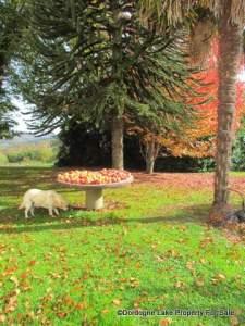 chestnut quince and apple harvest walnut harvest from the trees #dordognelakeproperty